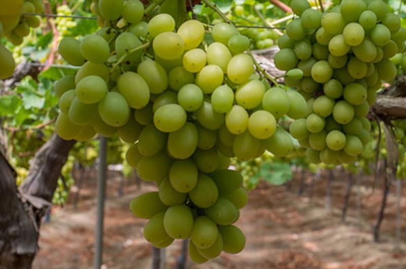 La uva de mesa murciana se venderá en el mercado chino